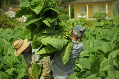 Man working on tobacco fields in cuba Royalty Free Stock Photography