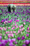 Man working in tulip field Stock Photo