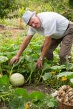 Man working at vegetable garden Stock Photo