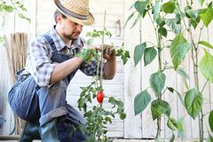 Man working in the vegetable garden tie up the tomato plants, take care to make them grow. And produce more stock photography