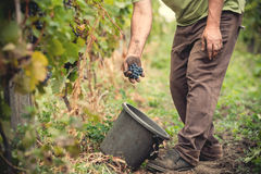 Man working in a vineyard Royalty Free Stock Images