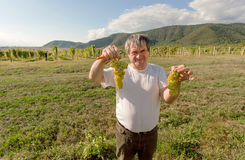 Man working in vineyard during harvest time and shows green grapes Stock Images