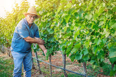 Man working in a vineyard Stock Photos
