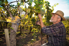 Man working in a vineyard Royalty Free Stock Photography