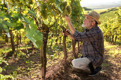 Man working in a vineyard Stock Image