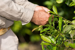 Man working in a yerba mate plantation. In Argentina stock photography