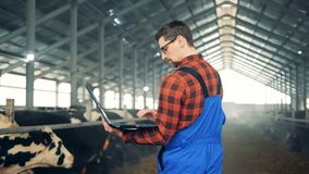 A man works with a laptop, standing in a barn with cows. 4K stock video footage
