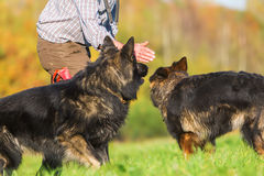Man works with Old German Shepherd Dogs Royalty Free Stock Photography