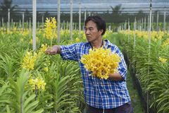 Man works at the orchid farm in Samut Songkram, Thailand. Royalty Free Stock Photo