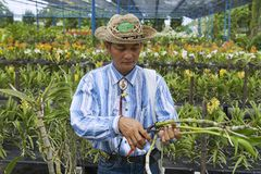 Man works at the orchid farm in Samut Songkram, Thailand. Royalty Free Stock Image