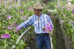 Man works at the orchid farm in Samut Songkram, Thailand. Stock Photos