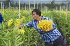 Man works at the orchid farm in Samut Songkram, Thailand. Stock Image