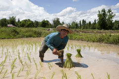Man works on the paddy field, Asia Stock Photos