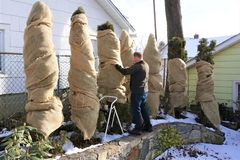 Man wraps bushes in burlap stock photo