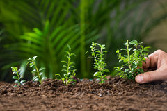 Man's Hand Planting Tree On Ground Stock Photo