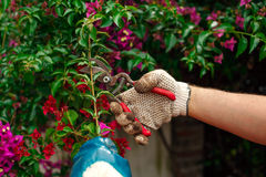 Man's hands with shears pruning a plant Stock Image