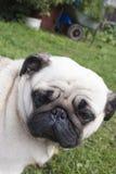 Man& x27; s najlepszy przyjaciel, zwierzę domowe, śmieszny pies, mądry zwierzę, Zdjęcie Royalty Free