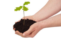 Man with young oak tree Royalty Free Stock Images