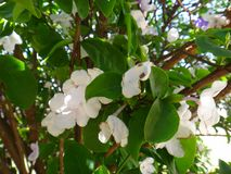 Manaca branches. Mercury, romeo and juliet, morning noon and night, day-noon-night, yesterday-today-and-tomorrow, royal purple brunfelsia, tree, bella union Stock Image