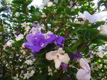 Manaca branches. Mercury, romeo and juliet, morning noon and night, day-noon-night, yesterday-today-and-tomorrow, royal purple brunfelsia, tree, bella union Stock Images