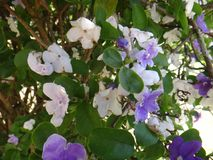 Manaca branches. Mercury, romeo and juliet, morning noon and night, day-noon-night, yesterday-today-and-tomorrow, royal purple brunfelsia, tree, bella union Stock Photos