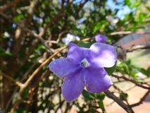 Manaca flower. Mercury, romeo and juliet, morning noon and night, day-noon-night, yesterday-today-and-tomorrow, royal purple brunfelsia, tree, bella union, lady Royalty Free Stock Images
