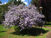 Manaca tree. Mercury, romeo and juliet, morning noon and night, day-noon-night, yesterday-today-and-tomorrow, royal purple brunfelsia, tree, bella union, lady of Stock Photo