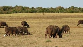 Manada africana del búfalo