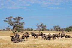 Manada azul del Wildebeest Fotos de archivo