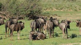 Manada azul del Wildebeest metrajes