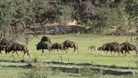 Manada azul del Wildebeest almacen de metraje de vídeo