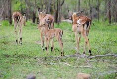 Manada común del impala fotografía de archivo libre de regalías