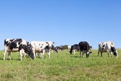 Manada contenta de las vacas lecheras blancos y negros de Holstein que pastan adentro Fotografía de archivo