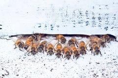 Manada de abejas delante de su jerarquía Foto de archivo