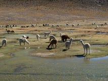 Manada de alpacas y llama en Perú Fotografía de archivo libre de regalías