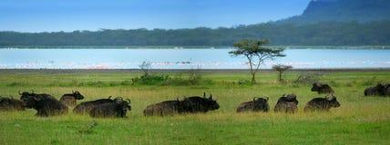 Manada de búfalos Foto de archivo libre de regalías