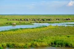 Manada de búfalos en humedal Imagen de archivo libre de regalías