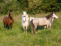 Manada de caballos fotografía de archivo