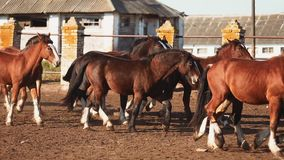 Manada de caballos en el establo almacen de video