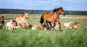 Manada de caballos en el pasto del verano fotografía de archivo