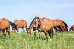 Manada de caballos en el pasto del verano foto de archivo