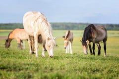 Manada de caballos en el pasto del verano foto de archivo libre de regalías