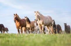 Manada de caballos en el pasto del verano imágenes de archivo libres de regalías