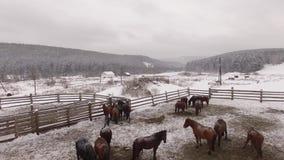 Manada de caballos en el prado en invierno aéreo almacen de metraje de vídeo