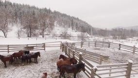 Manada de caballos en el prado en invierno aéreo almacen de video
