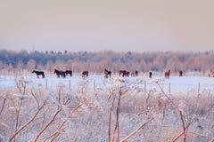 Manada de caballos en un pasto nevoso Fotos de archivo