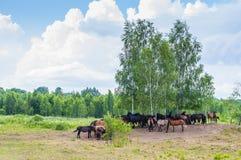 Manada de caballos en un prado rodeado por los bosques del abedul Imágenes de archivo libres de regalías