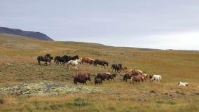 Manada de caballos islandeses almacen de video