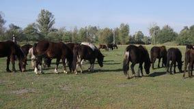 Manada de caballos jovenes en el pasto en el día soleado metrajes