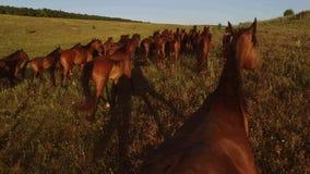 Manada de caballos marrones almacen de video